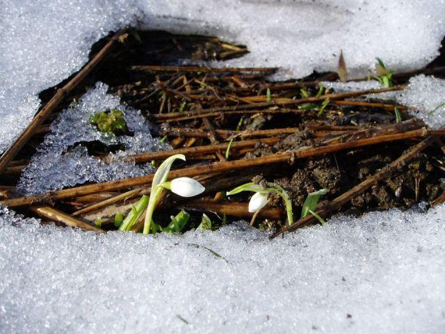 První sněženky v údolí, jak je před pár lety nafotila Marie, jejíž příjmení Hrdinová.